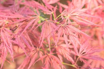 japanese maple - acer palmatum dissectum