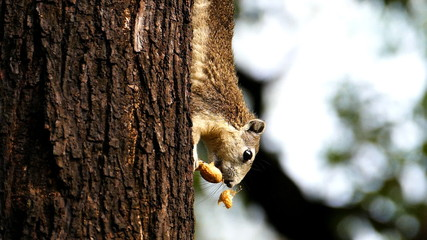 Squirrel eating nut on tree, slow motion.