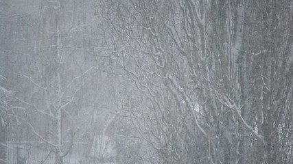 Snowing on background of big leafless poplar tree in city