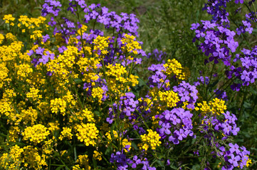 yellow and violet flowers