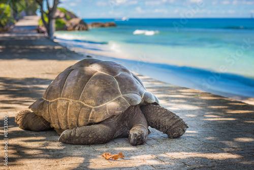 Foto op Aluminium Schildpad Seychelles giant tortoise