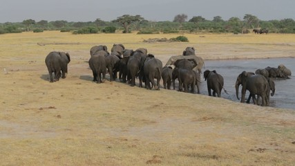 Herd of African elephants at waterhole in national park Hwankee