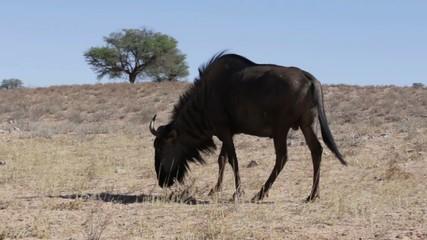 wild Wildebeest Gnu grazing grassland, Kgalagadi