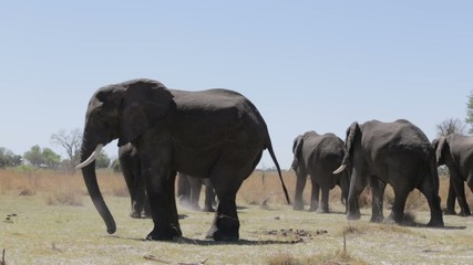 herd of African elephants going out from waterhol