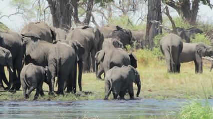 herd of African elephants on waterhole