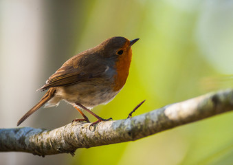 red robin perched and looking up