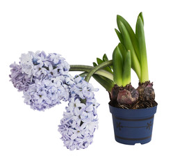 Purple hyacinth in flowerpot isolated over white