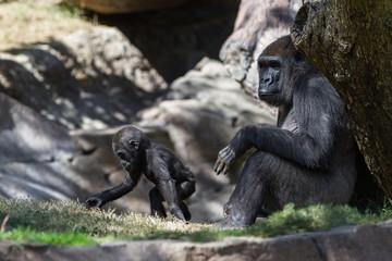 baby gorilla and mom