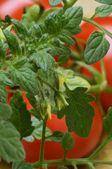 Solanum lycopersicum Pomodoro Tomato
