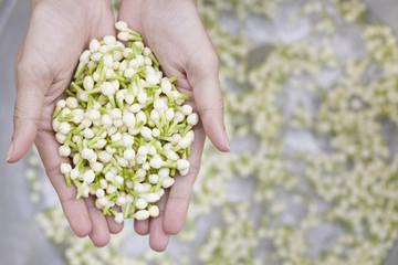 Jasmine flower in hand