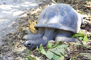 Aldabra giant tortoise in island Curieuse.