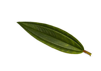 Malabar melastome leaf isolated
