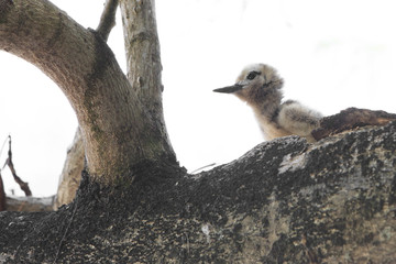 White tern chick sitting on a branch.