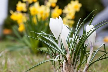 Frühlingsgefühle - weißer Krokus und Osterglocken