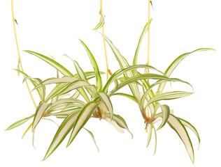 rejets de phalangère, plante araignée sur fond blanc