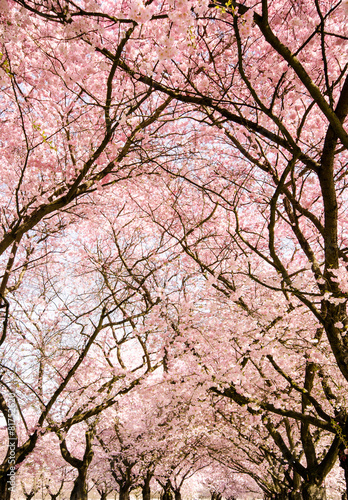 Fotobehang Kersen Blütentraum im Frühling: Kronen Japanischer Kirschblüten :)