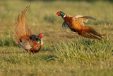 Pheasant males are fighting in during mating season