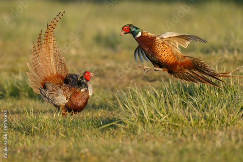Pheasant males are fighting in during mating season - 81753635