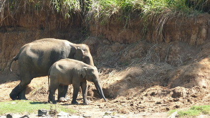 Elephants family at the Pinnawala Elephant Orphanage in Sri Lank