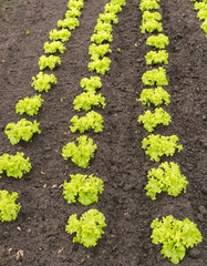 Young curly green leaf lettuce plants in the soil