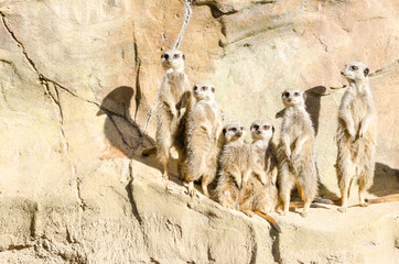 Family Portrait of a Gang of Six Slender-Tailed Meekats Standing