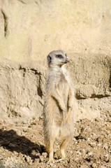 Profile Portrait on a Lone Short-Tailed Meerkat Standing to Atte