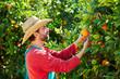 Farmer man harvesting oranges in an orange tree