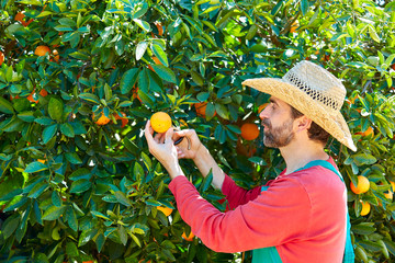 Farmer man harvesting oranges in an orange tree