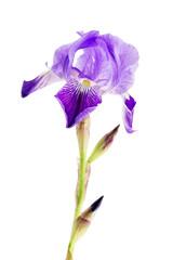 iris flower over white background