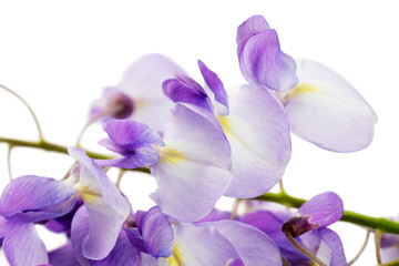 close up of wisteria branch over white