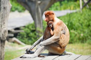 Proboscis monkey endemic of Borneo island in Malaysia