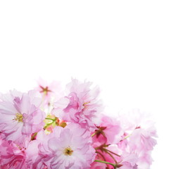 Cherry blossom, flowers isolated on white background