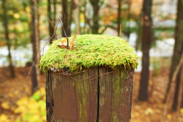 Moss grows on wooden pole