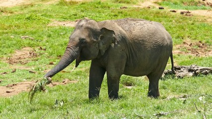 Elephants at the Pinnawala Elephant Orphanage in Sri Lanka