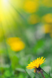 Fototapeta yellow dandelion flowers in meadow. Spring concept.