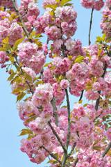 albero fiorito a primavera
