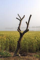 Cut tree on wheat field