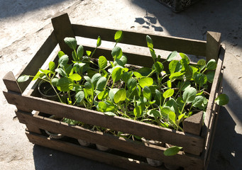 seedling of cabbage in a wooden box
