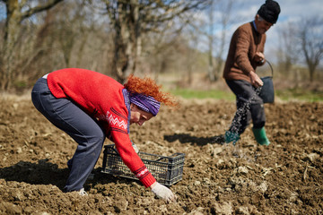 Family sowing potatoes