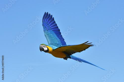 Papiers peints Perroquets Blue and yellow Macaw (Ara ararauna)