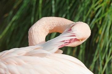 Pink flamingo detail