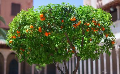 Isolated green mandarin tree with ripe fruits