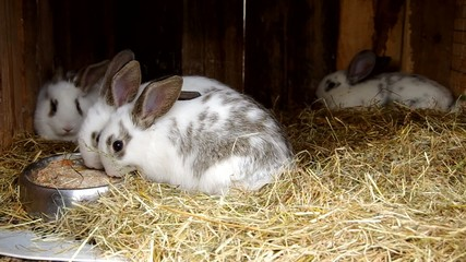 Young White rabbits in the cage on dry grass