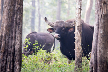 Huge indian bison in forest