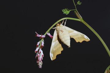 Mariposa del tilo, mimas tiliae, Sauceda, Hurdes, España