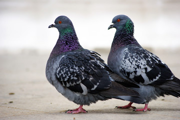 A couple of pigeons