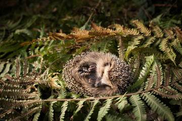 sleeping baby Hedgehog