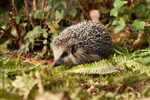 Plakát, Obraz Baby Hedgehog