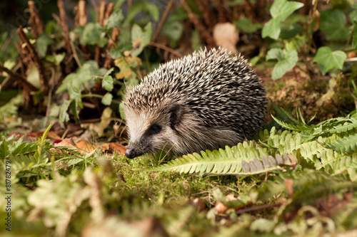 Poster Baby Hedgehog