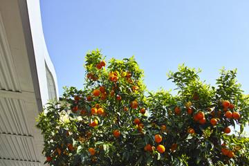 plant of orange